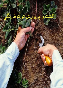 کشت و پرورش توت فرنگی